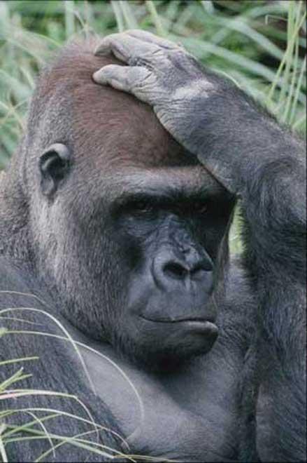 gorille005.jpg